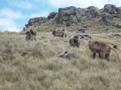 ethiopie, singe, nature, voyage